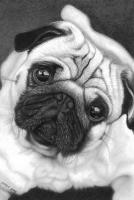 4-Dogs_Pug