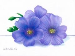 Purple-Flax-Flowers-web