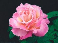 Pink-Rose-CPFloralAK
